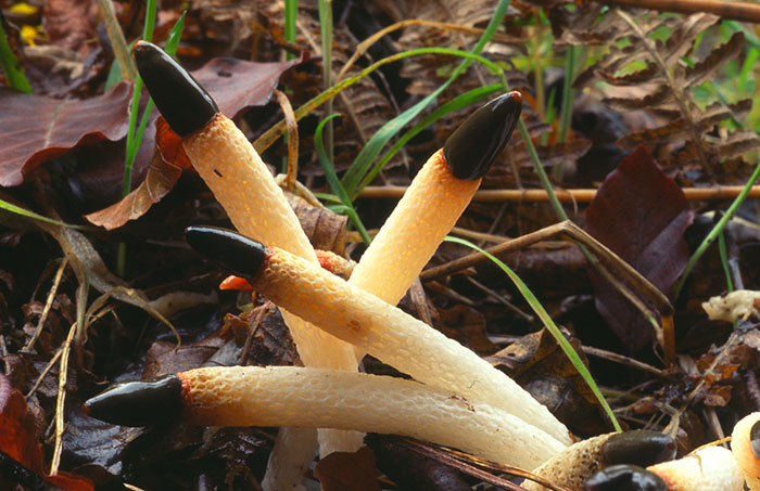 Dog stinkhorn