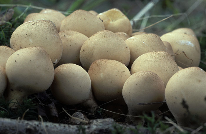 Stump Puffballs