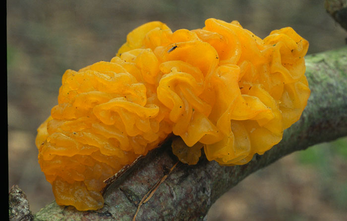 Yellow brain fungus